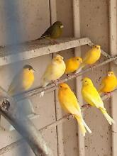 Canaries, female Churchlands Stirling Area Preview
