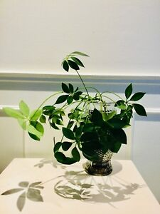 Adoptez une plante - Schéffléra