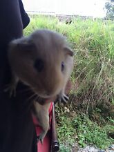 Looking for free female Guinea pig for breeding Elanora Gold Coast South Preview