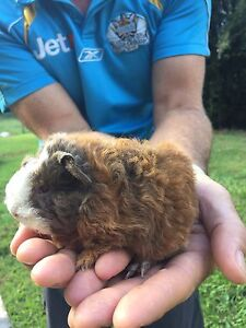 Baby guinea pigs Austinville Gold Coast South Preview