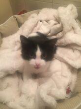 Found kitten Marangaroo Wanneroo Area Preview