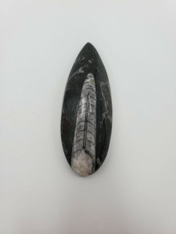 PREHISTORIC ORTHOCERAS NAUTILOID CEPHALOPOD POLISHED FOSSIL - EXCELLENT COND