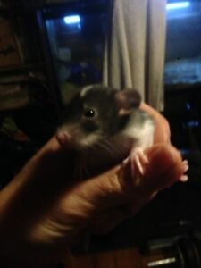 Baby rats , $5 or best offer