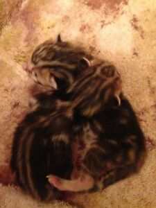 1 purebred female marble Bengal kitten for sale.