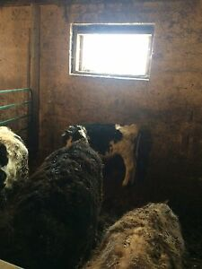 4 starter calves for sale 2 beef 2 dairy