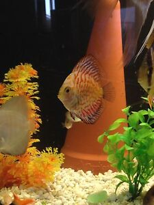 2.5-3inch pigeon discus