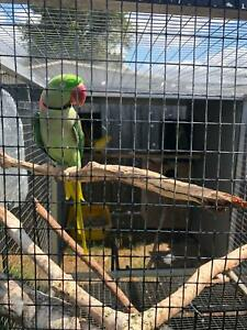 i want swap HAND TAME  Male mature 5yr  for aviary breed ALEX Brisbane City Brisbane North West Preview