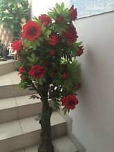 Beautiful red rose flowers  tree Fairfield Fairfield Area Preview