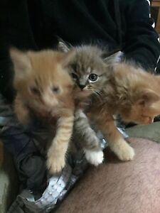 3 Rag doll cross 8 weeks old lovely kittens Ambarvale Campbelltown Area Preview