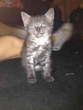 4 Beautiful kittens need a good safe loving home Blacksmiths Lake Macquarie Area Preview