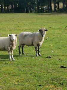 Suffolk Ewes In Tasmania Livestock Gumtree Australia Free Local Classifieds