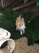 Baby male rabbits Greenacre Bankstown Area Preview