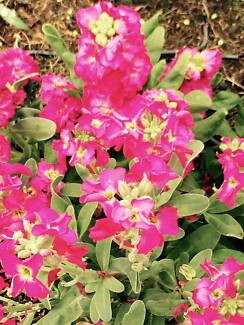 Potted Colour - Stock (Matthiola) North Maclean Logan Area Preview