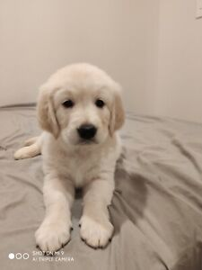 Adorable pure bred Golden Retriever puppies