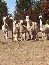Quality Alpacas for Sale - Lots to choose from starting at $250 Peel Outer Bathurst Preview