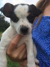 Mini foxy x Chihuahua Helidon Spa Lockyer Valley Preview