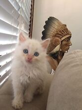 Red point Birman kitten Glenmore Park Penrith Area Preview