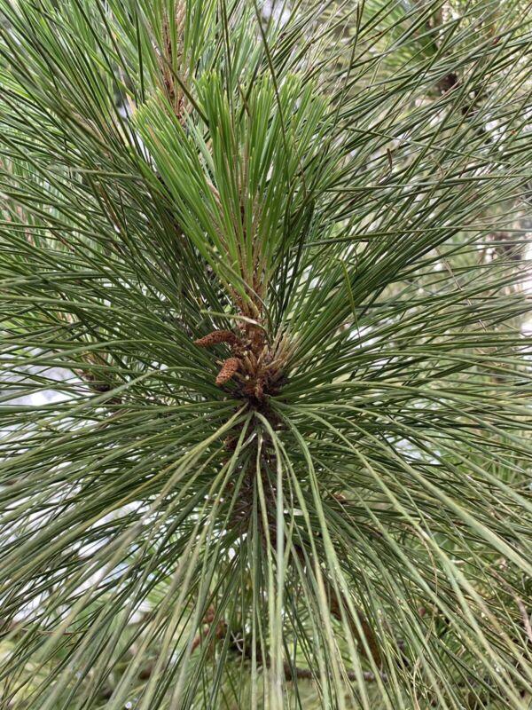 Organic Pine Needles - Harvested at time of order! Suramin Immunity Brew 4oz