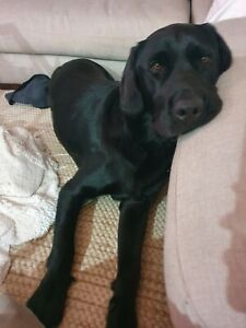 3 YEAR OLD MALE LABRADOR | Dogs & Puppies | Gumtree ...