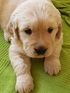 Pure golden retriever puppies need new home after 22/11