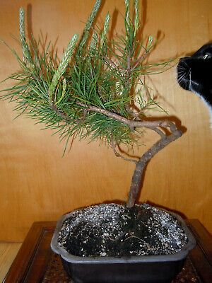 11 YEAR OLD INFORMAL UPRIGHT WINDSWEPT JAPANESE BLACK PINE 1/2 INCH TRUNK -