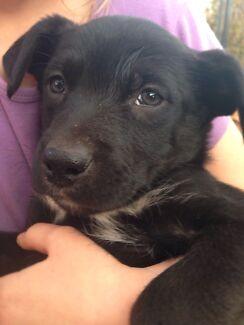 Black and white kelpie puppies for sale Temora Temora Area Preview