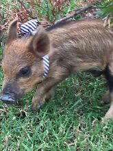 Urgent sale mini pig no time wasters!!! Silverdale Wollondilly Area Preview