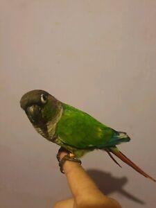 Super tame green cheek conure