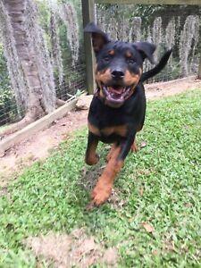 Rottweiler puppies gold coast