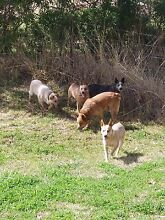 Aust. Stumpy Tail Cattle Dogs Marburg Ipswich City Preview