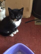 Adorable black kitty Minto Campbelltown Area Preview