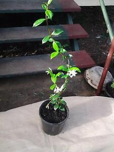 plant STAR JASMINE creeper Yabulu Townsville Surrounds Preview
