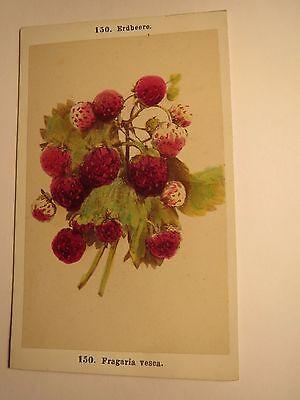Erdbeere - Fragaria vesca - Pflanze / CDV