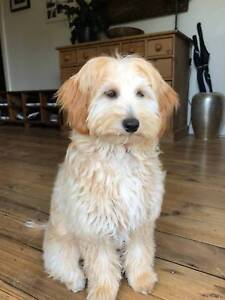 Spoodle / Cockapoo Puppy - Male, 4 mths, vet checked & vaccinated