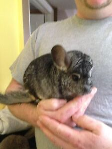 Male chinchilla with cage