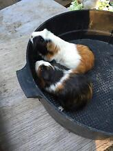 A pair of breeding Guinea pigs West Ryde Ryde Area Preview