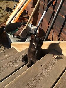 FREE KITTENS LITTER OF 5!! Still available !!! Strathcona County Edmonton Area image 3