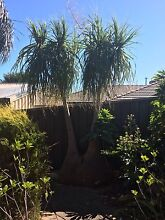 Pony tail palms Hallett Cove Marion Area Preview