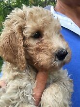 Spoodle X Standard Poodle Puppies Harper Creek Caloundra Area Preview