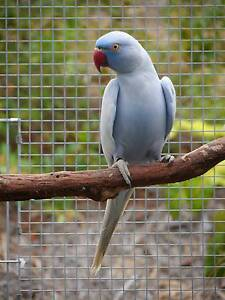 INDIAN RINGNECK SUPER SALE Brisbane City Brisbane North West Preview