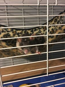 3 Rats, femelle a Donne, cage et acessoire inclus