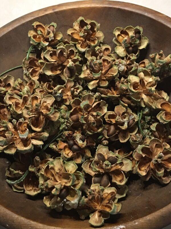 SO CO or New Mexico SMALL Hard Shell Pinon Nuts Pinyon Pine Cones 2019