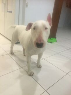 English bull terriers  Brassall Ipswich City Preview