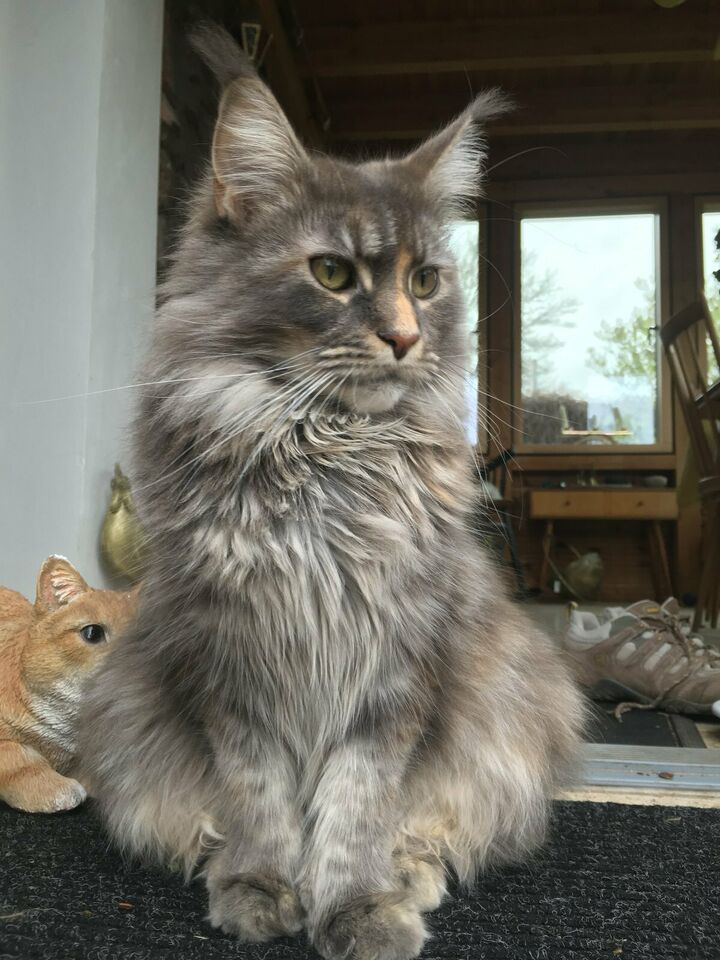 Maine Coon Katze Freya vermisst - Belohnung in Hessen - Maintal