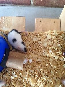 cute pet mice Maryland Newcastle Area Preview