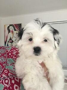 Maltese Shihtsu Puppy Kenmore Brisbane North West Preview