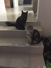 Rag doll cats . Brother and sister Maroochydore Maroochydore Area Preview