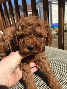 Caniche toy rouge CCC / red toy poodle CKC
