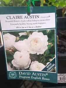 David Austin rose CLAIRE AUSTIN Leopold Geelong City Preview