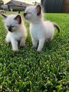 Ragdoll Kittens, Purebred
